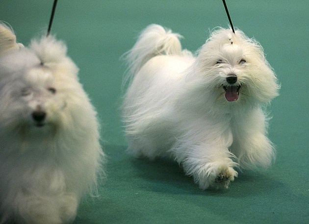 dogs at dog show