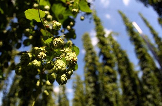 hops growing pm farm