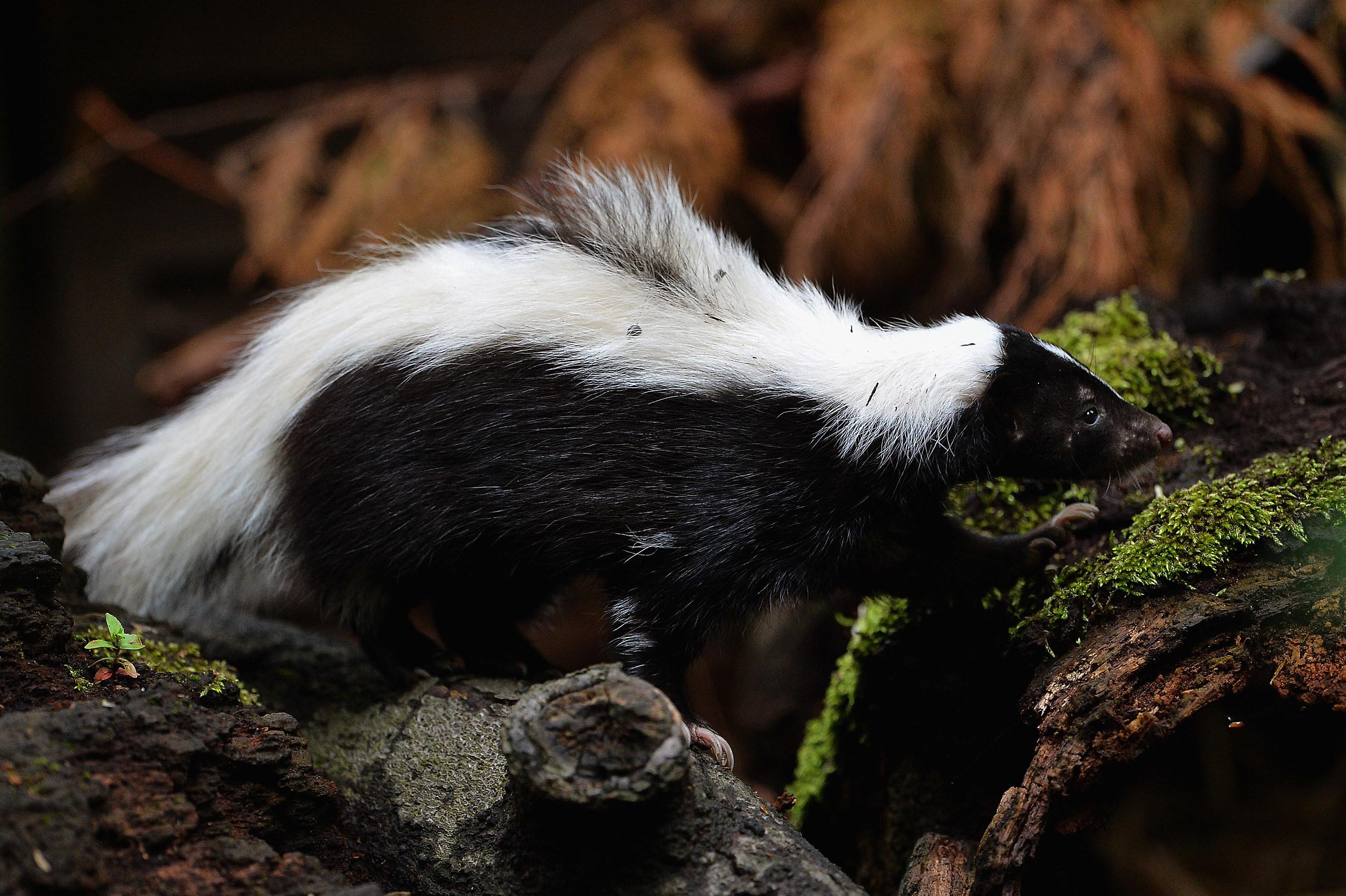 skunks lingering around try this natural diy skunk repellent
