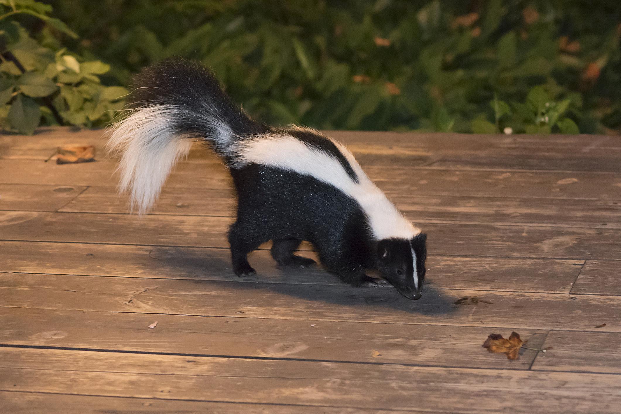 natural diy skunk repellent