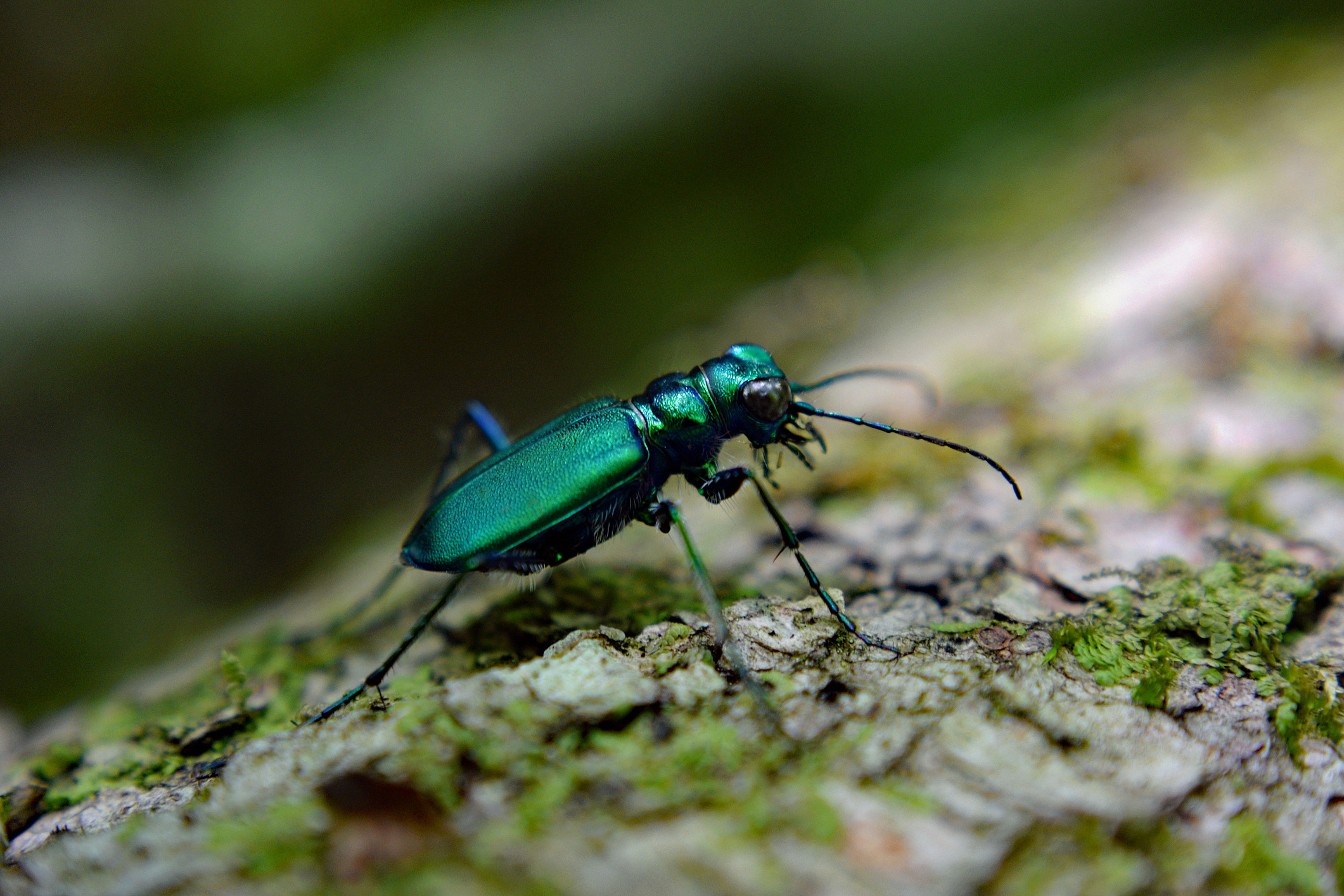 Emerald Green Tiger Beetle on Fallen Tree