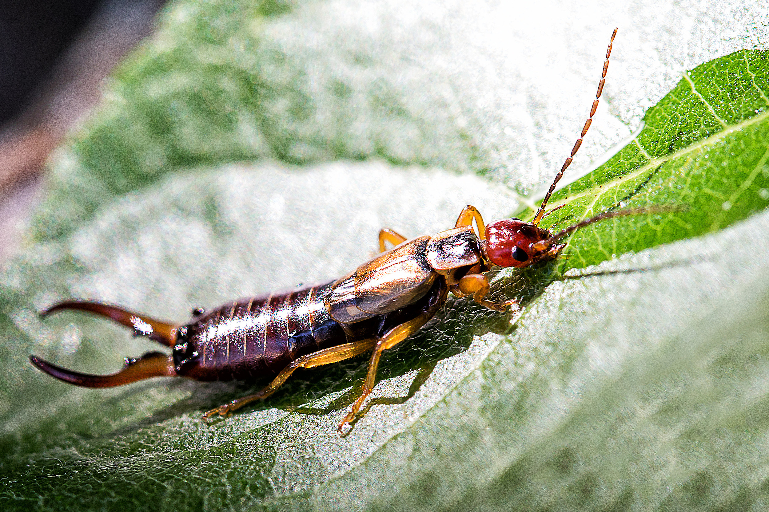 How To Get Rid Of Earwigs Or 39 Pincher Bugs 39